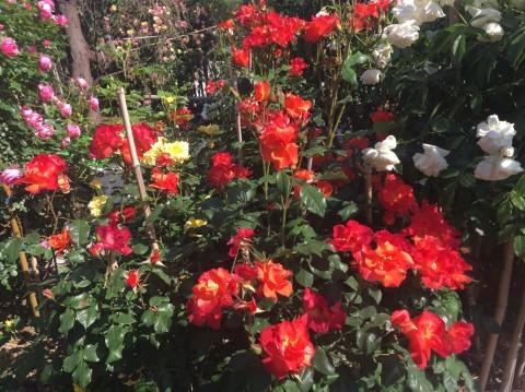 Rose Garden Fujii_e0115904_12220097.jpg