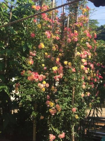 Rose Garden Fujii_e0115904_12222312.jpg