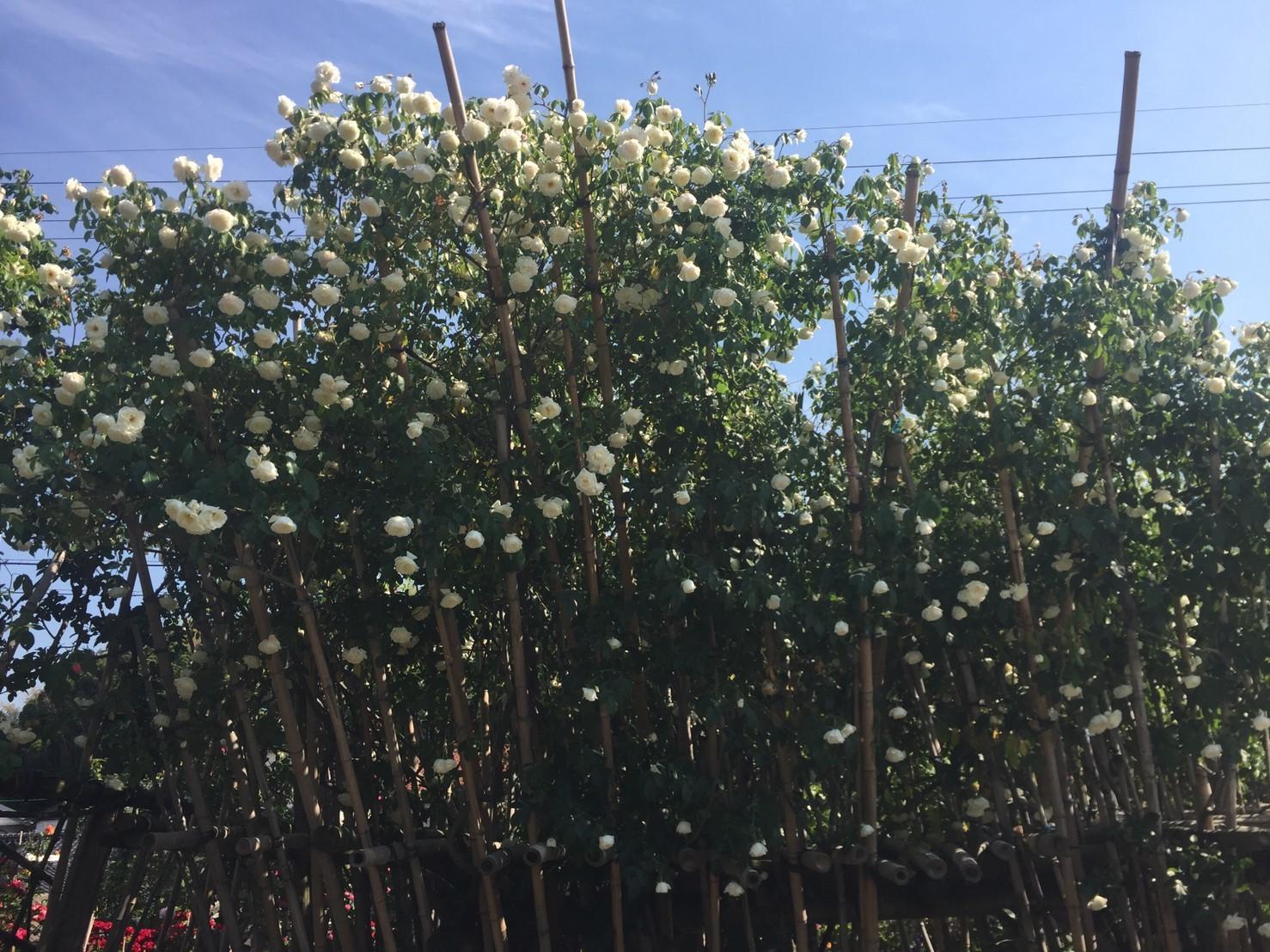 Rose Garden Fujii_e0115904_12244612.jpg