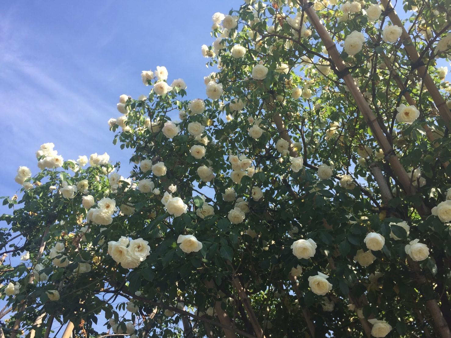 Rose Garden Fujii_e0115904_12244641.jpg