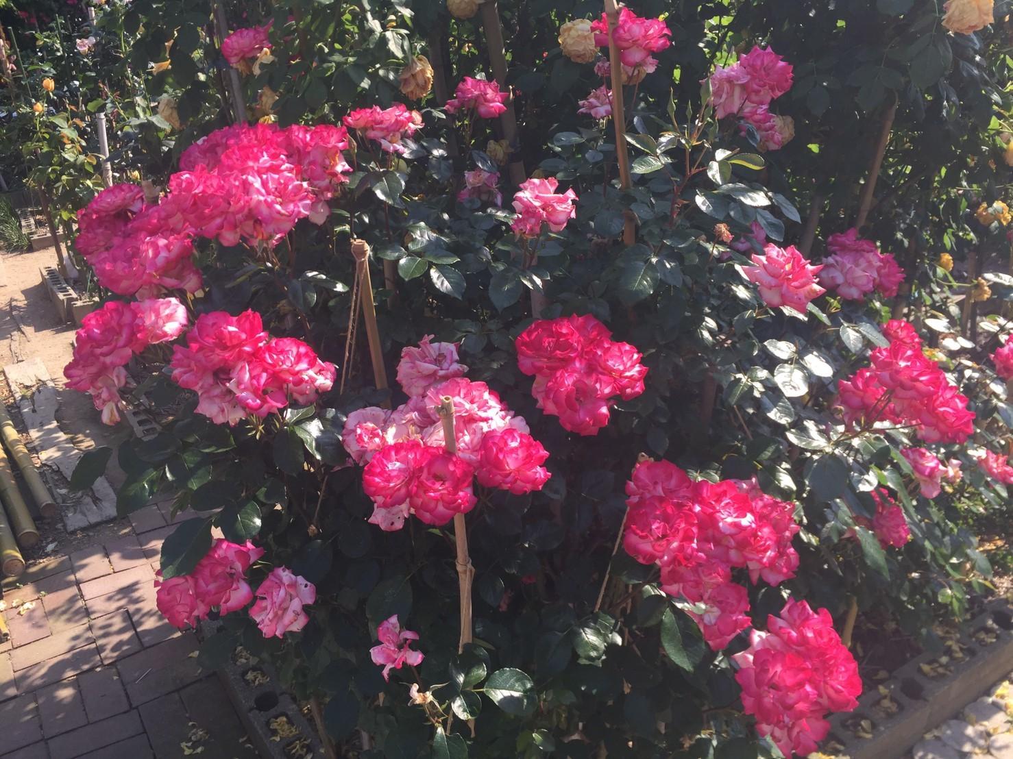 Rose Garden Fujii_e0115904_12262283.jpg