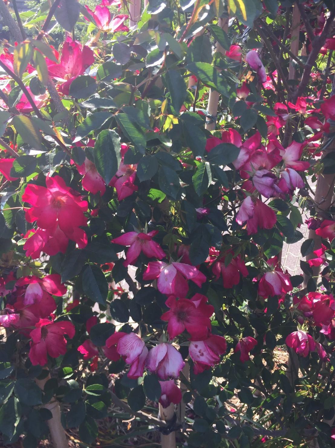 Rose Garden Fujii_e0115904_12262342.jpg