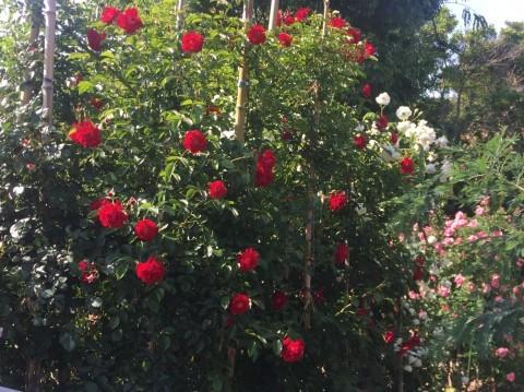Rose Garden Fujii_e0115904_12262382.jpg