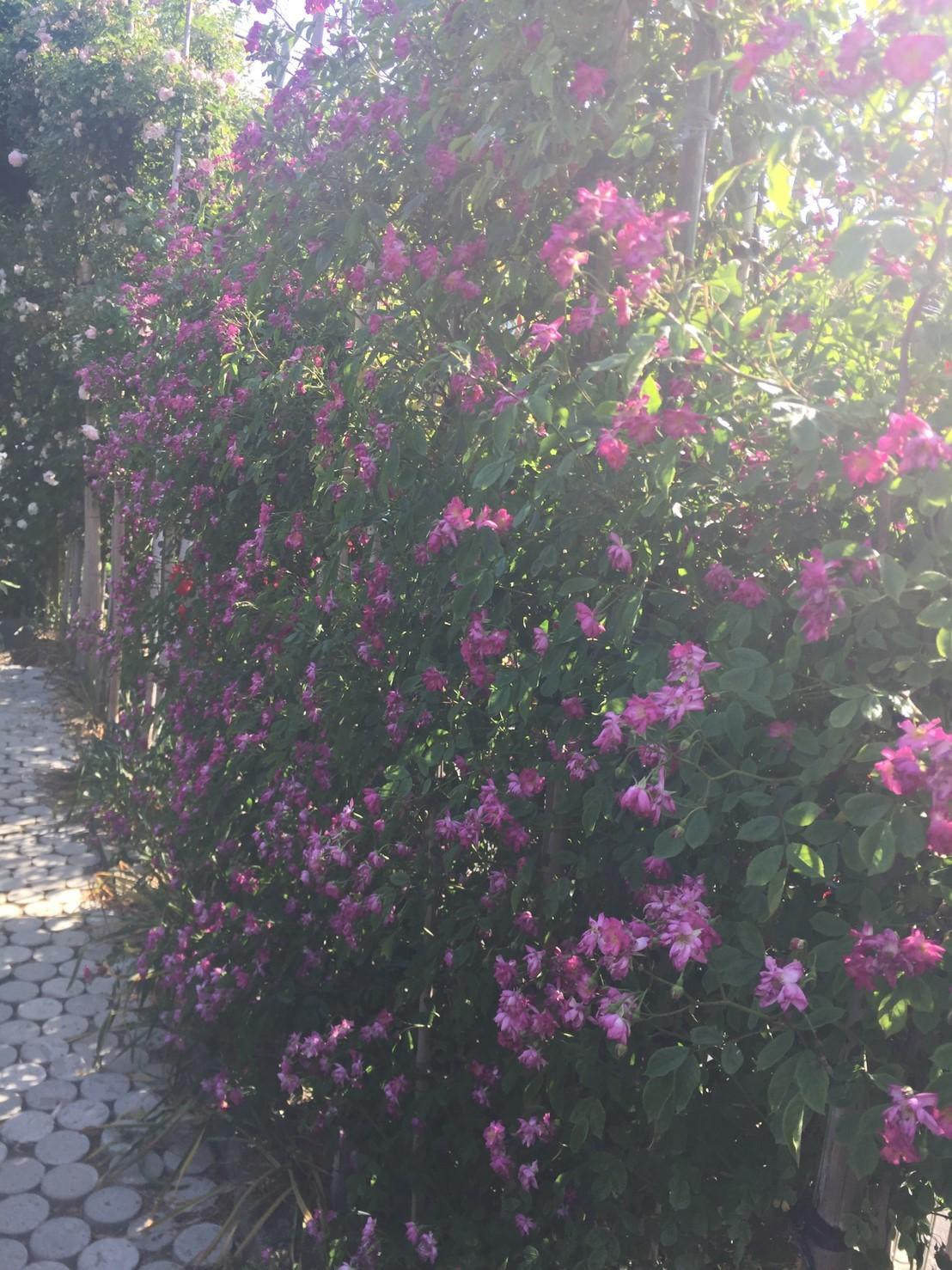 Rose Garden Fujii_e0115904_12273232.jpg
