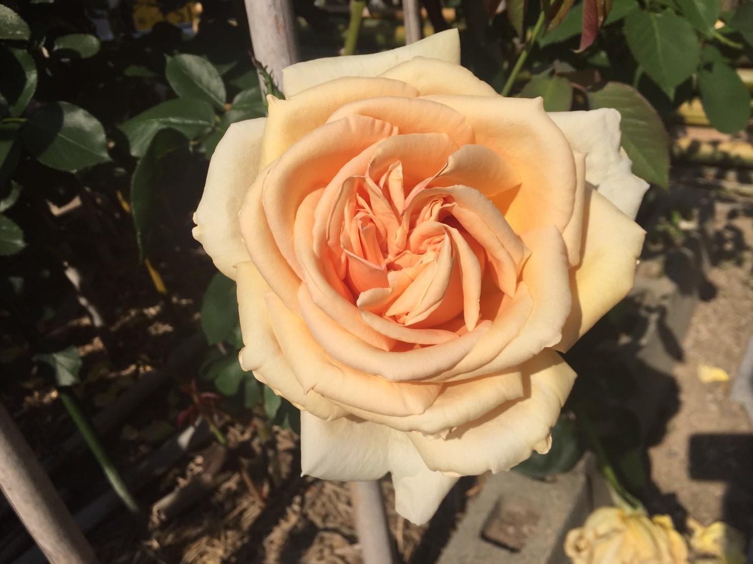 Rose Garden Fujii_e0115904_12273276.jpg