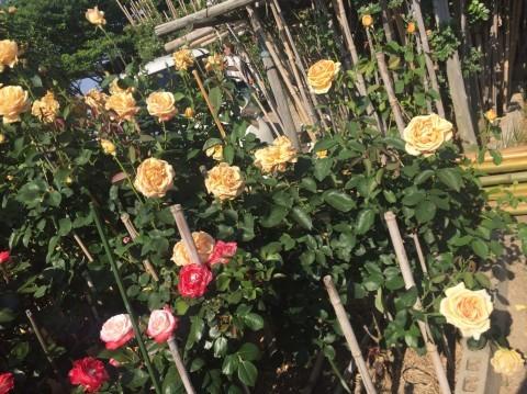 Rose Garden Fujii_e0115904_12275154.jpg