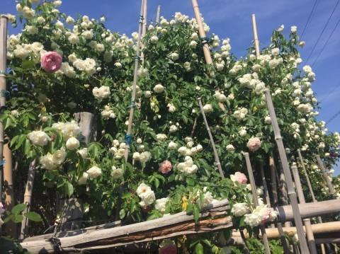 Rose Garden Fujii_e0115904_12281821.jpg
