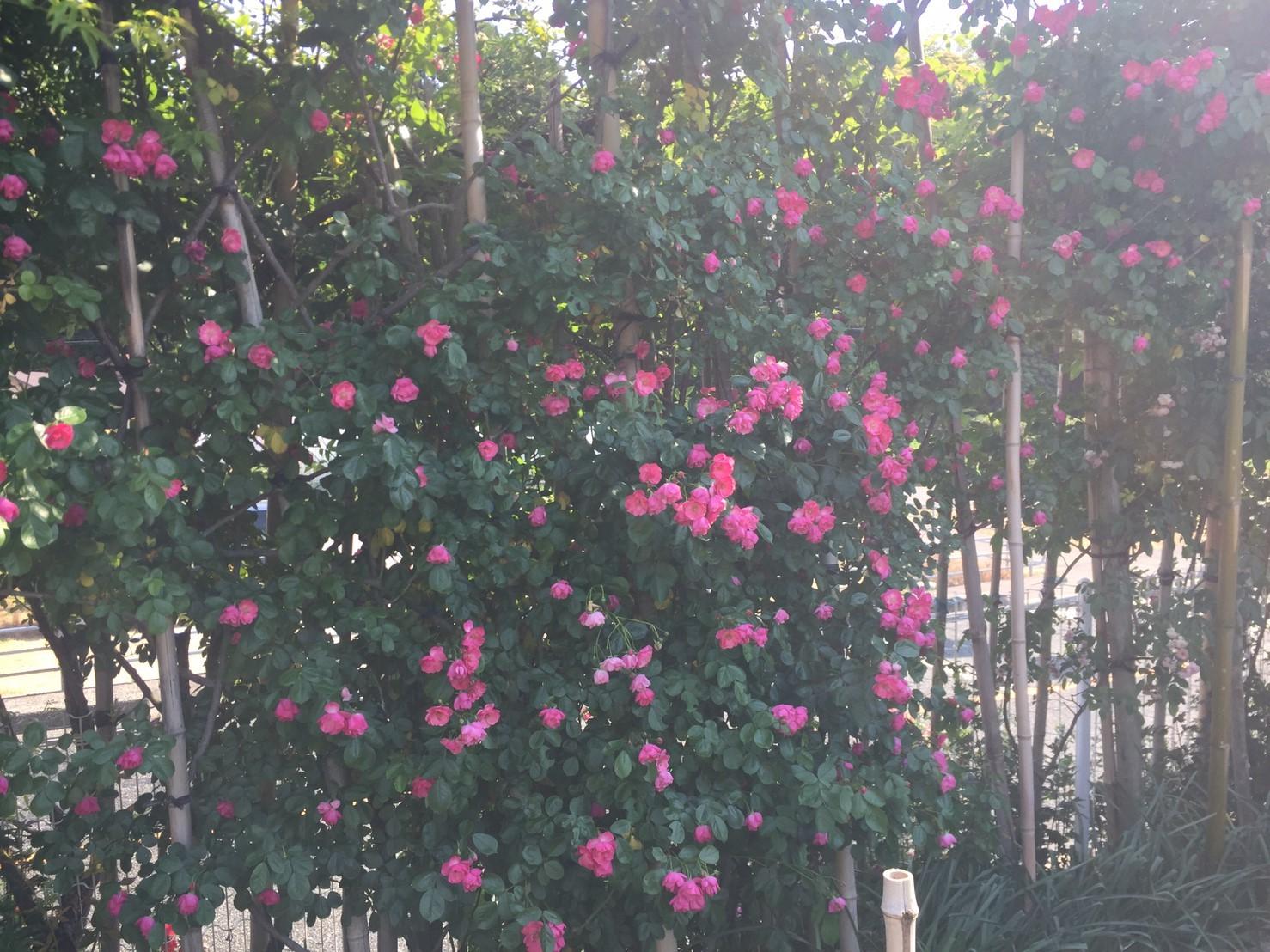 Rose Garden Fujii_e0115904_12283205.jpg