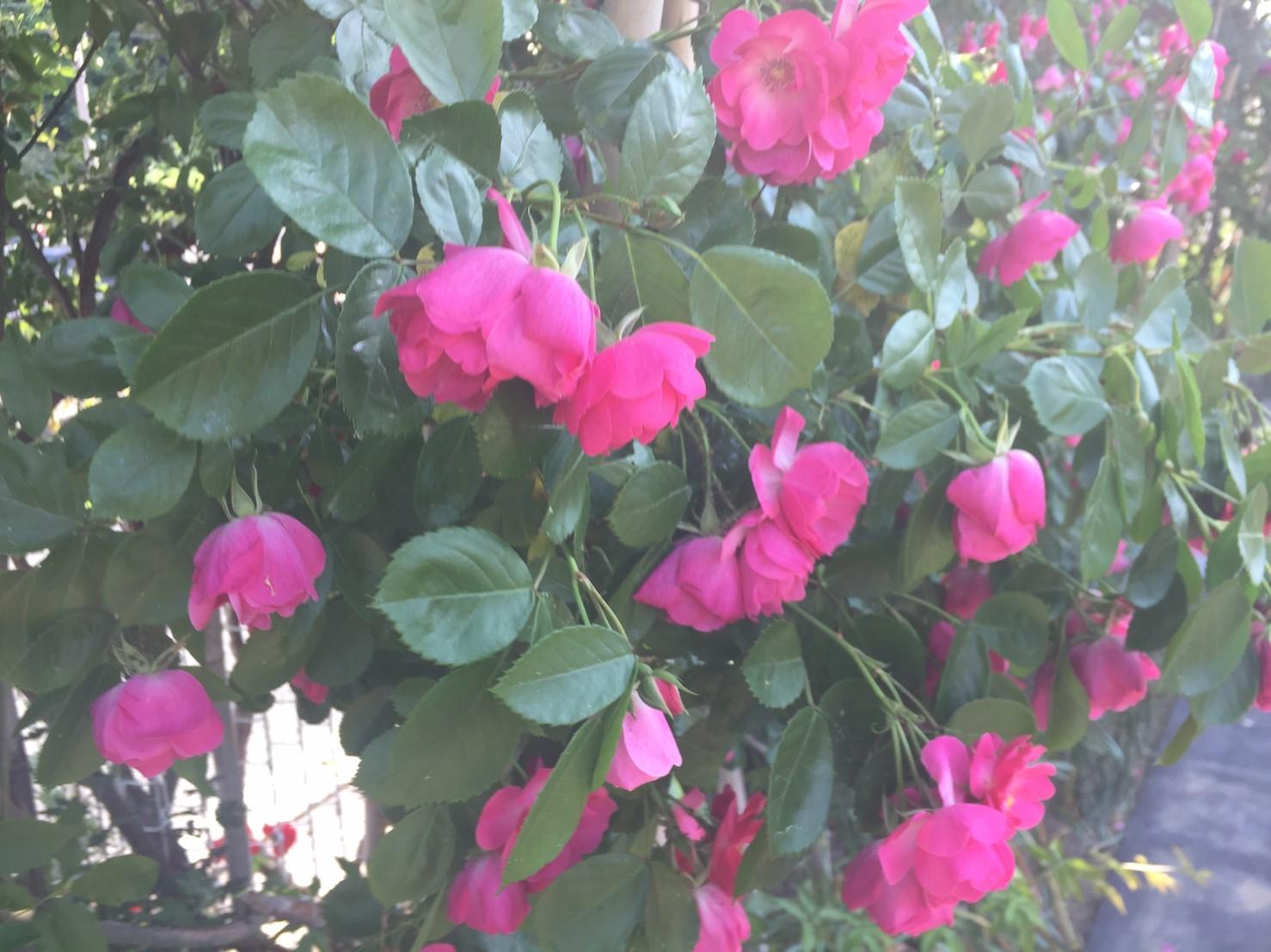 Rose Garden Fujii_e0115904_12292829.jpg