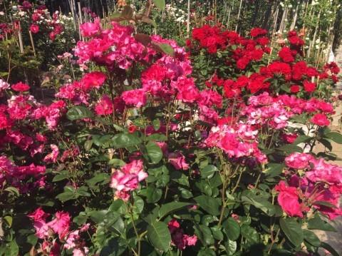 Rose Garden Fujii_e0115904_12292910.jpg