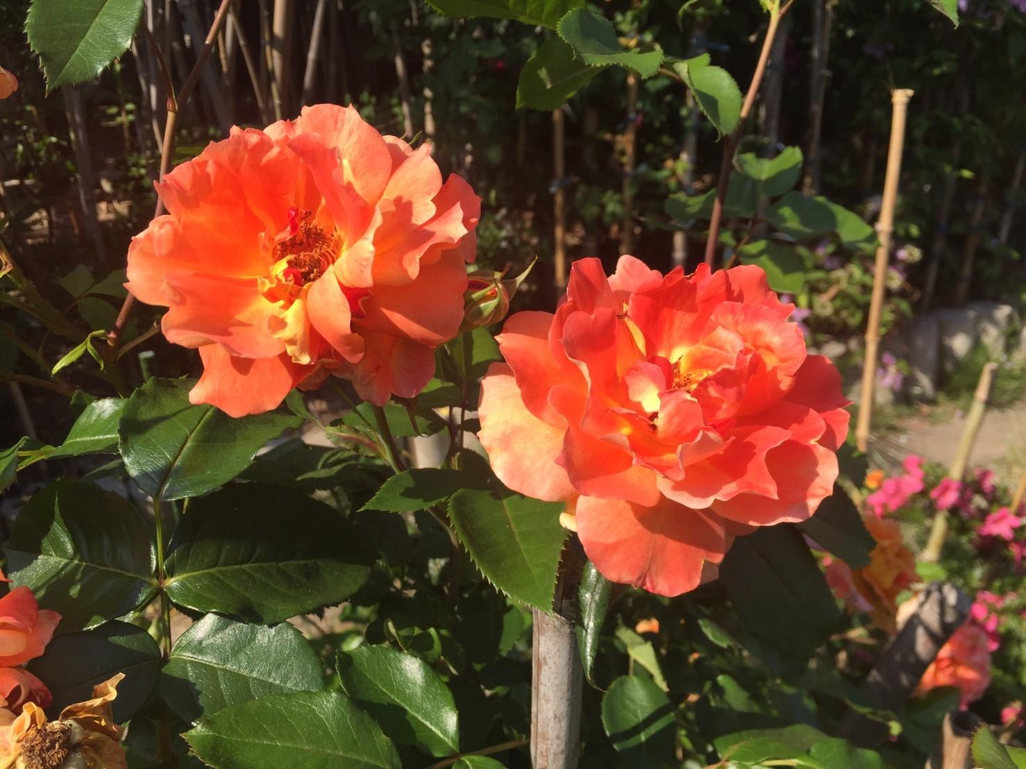 Rose Garden Fujii_e0115904_12292953.jpg