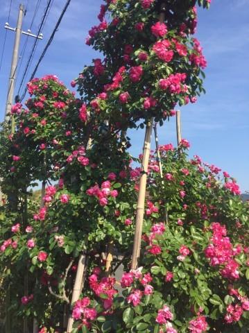 Rose Garden Fujii_e0115904_12294632.jpg