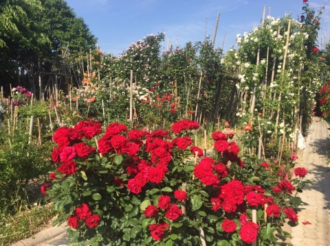 Rose Garden Fujii_e0115904_12294653.jpg