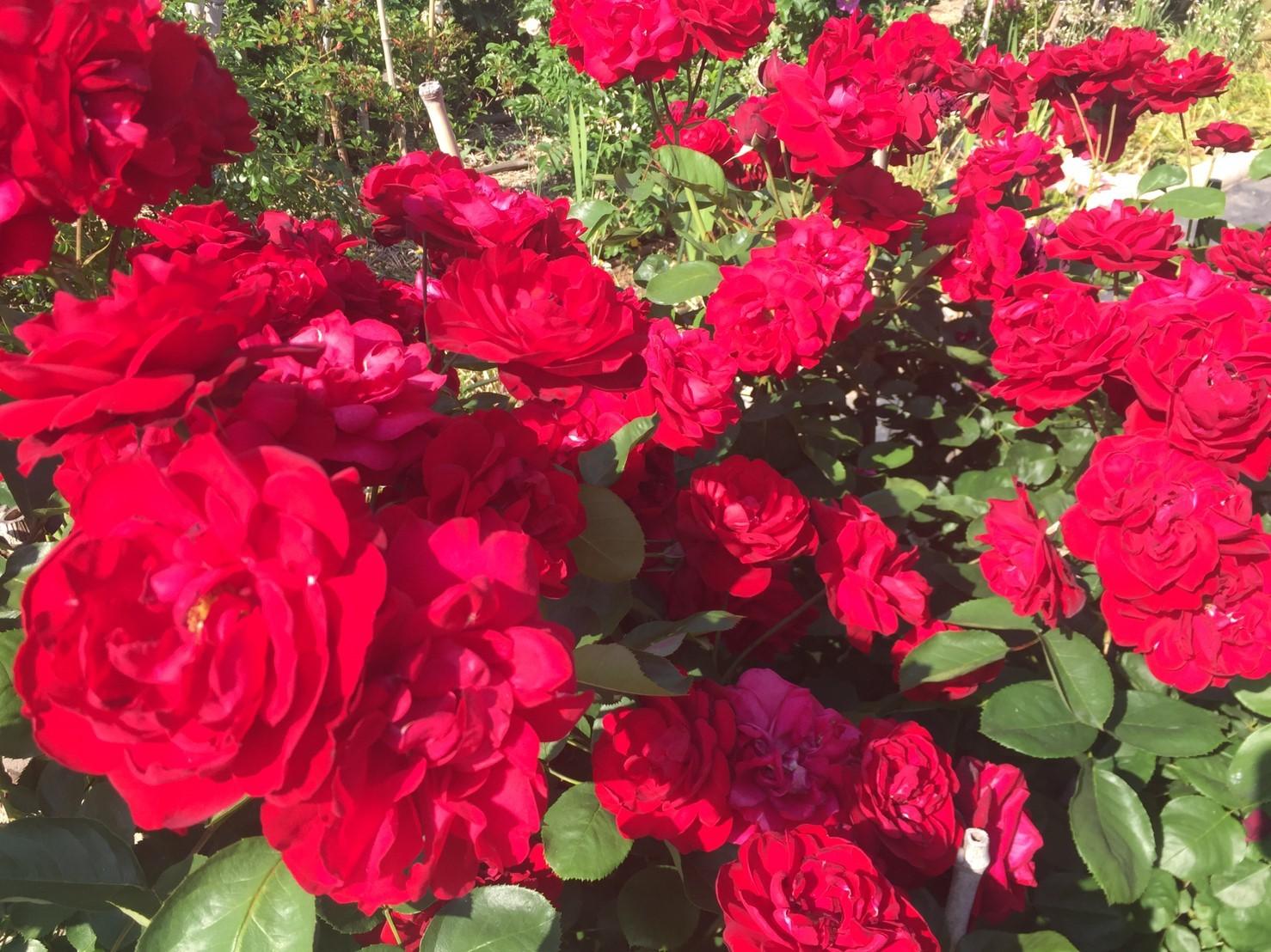Rose Garden Fujii_e0115904_12294742.jpg