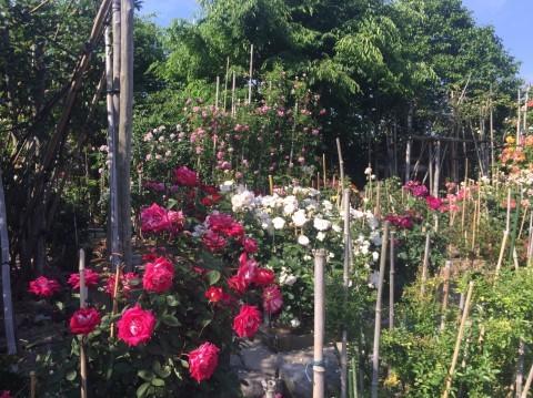 Rose Garden Fujii_e0115904_12294753.jpg