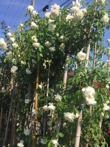 Rose Garden Fujii_e0115904_12302746.jpg