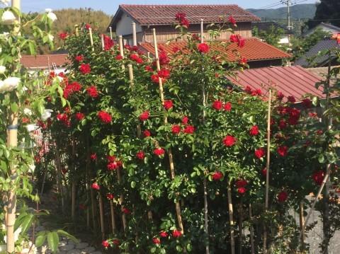 Rose Garden Fujii_e0115904_12302754.jpg