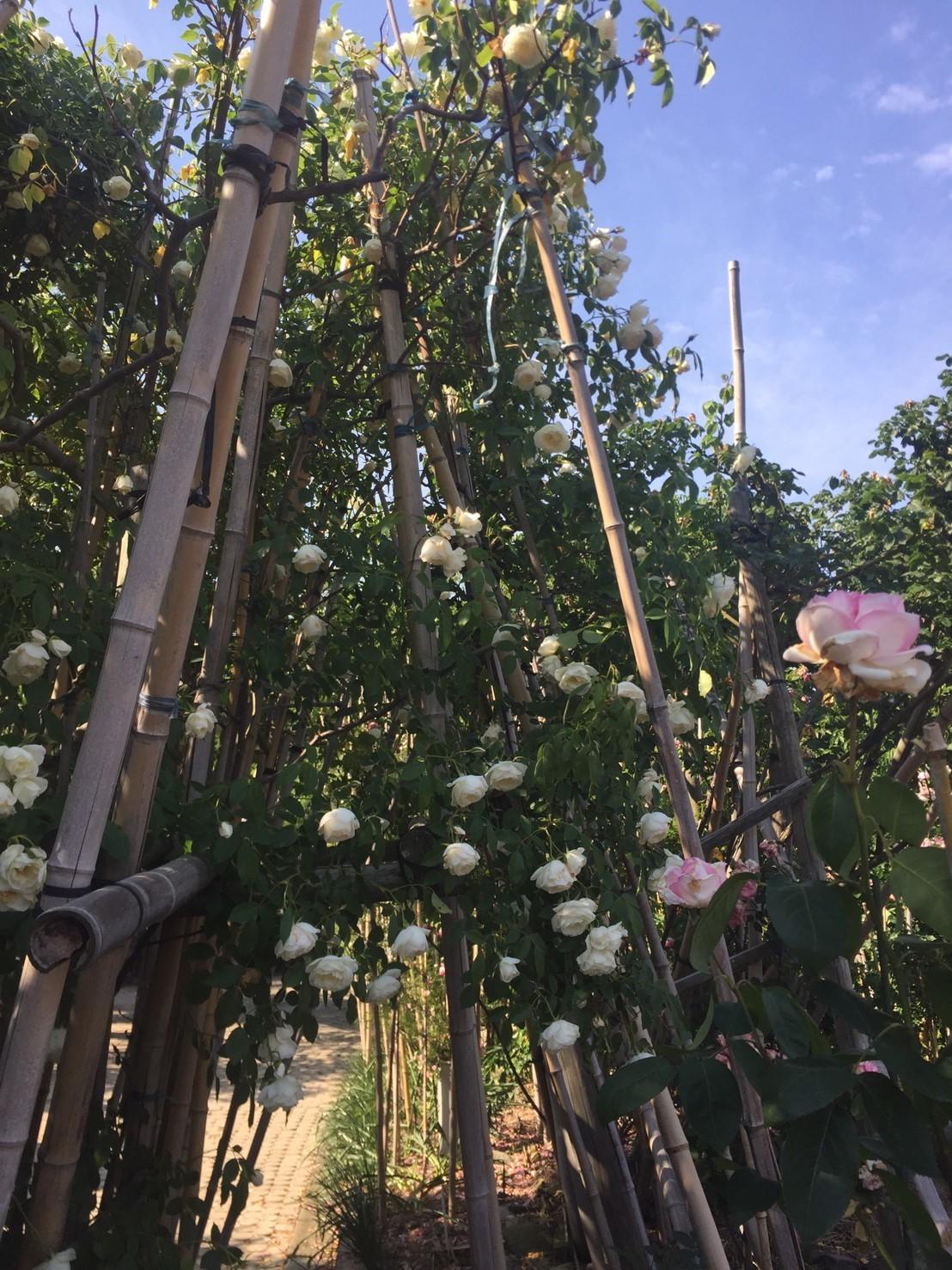 Rose Garden Fujii_e0115904_12302780.jpg