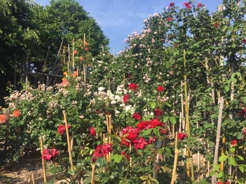 Rose Garden Fujii_e0115904_12312261.jpg