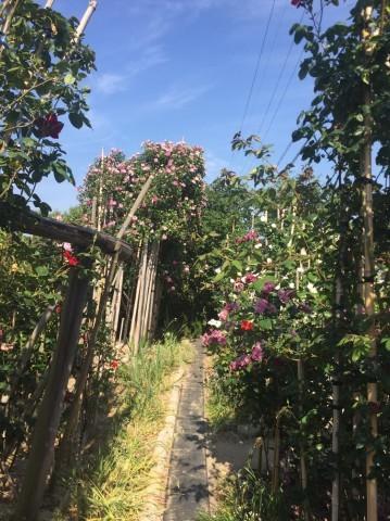 Rose Garden Fujii_e0115904_12331821.jpg