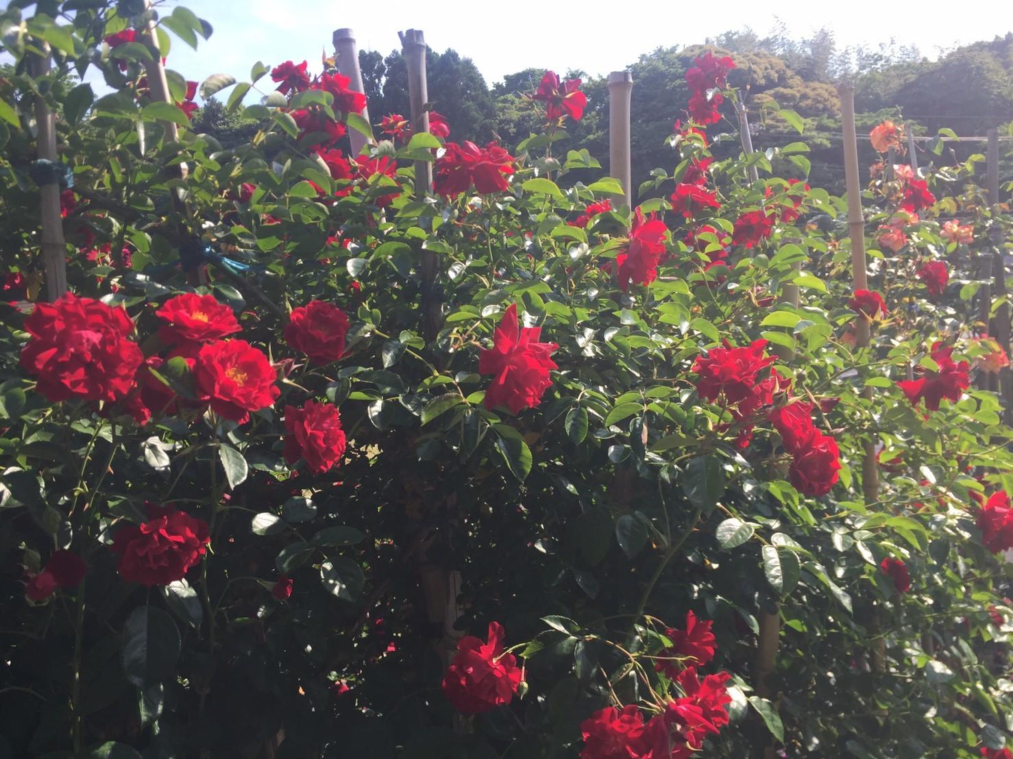 Rose Garden Fujii_e0115904_12341602.jpg