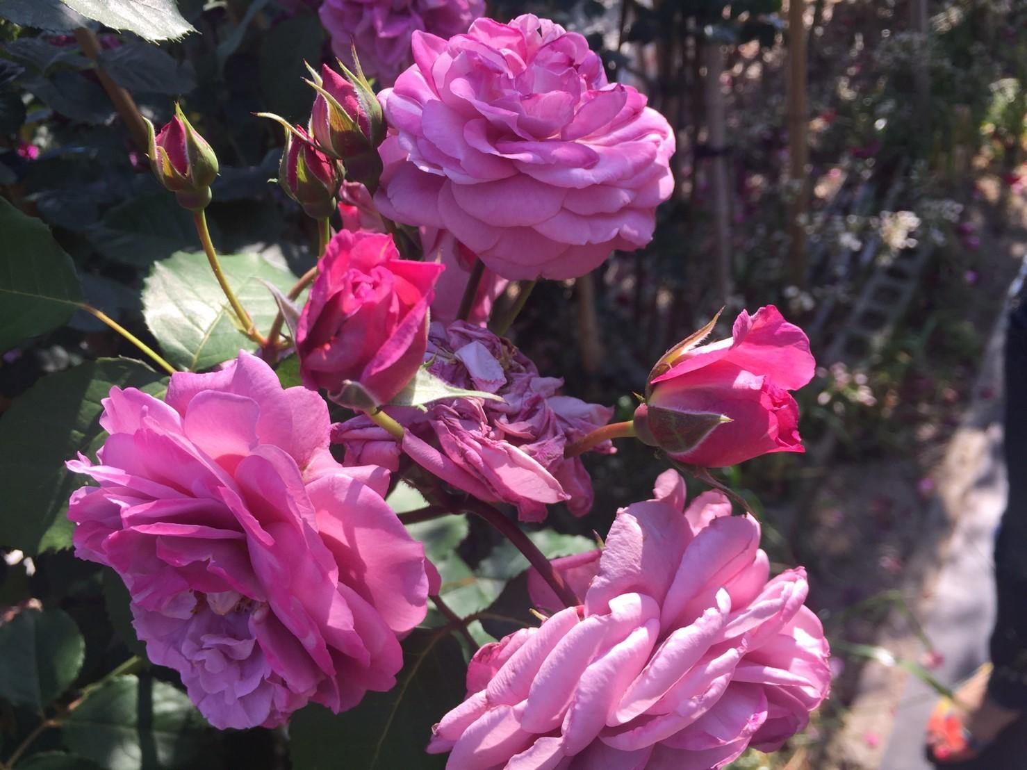 Rose Garden Fujii_e0115904_12341706.jpg