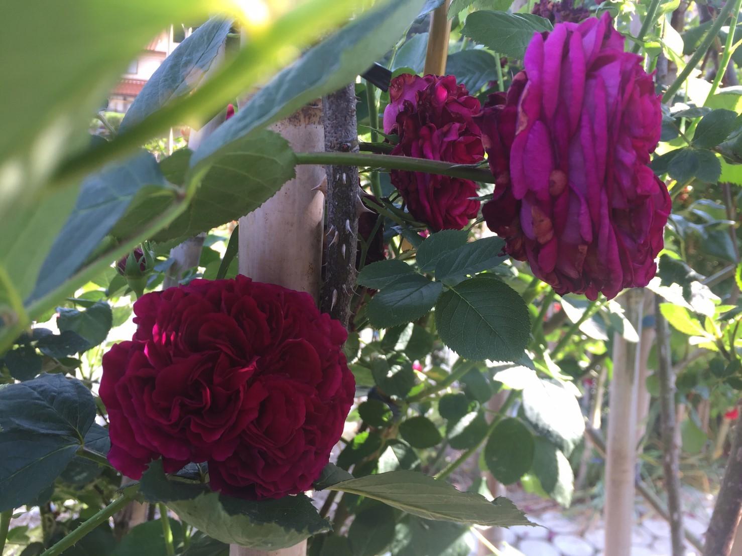 Rose Garden Fujii_e0115904_12341722.jpg