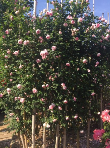 Rose Garden Fujii_e0115904_12341777.jpg