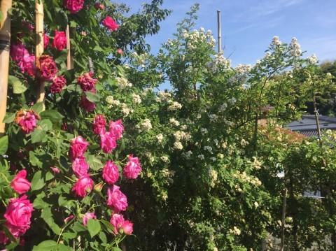 Rose Garden Fujii_e0115904_12341787.jpg