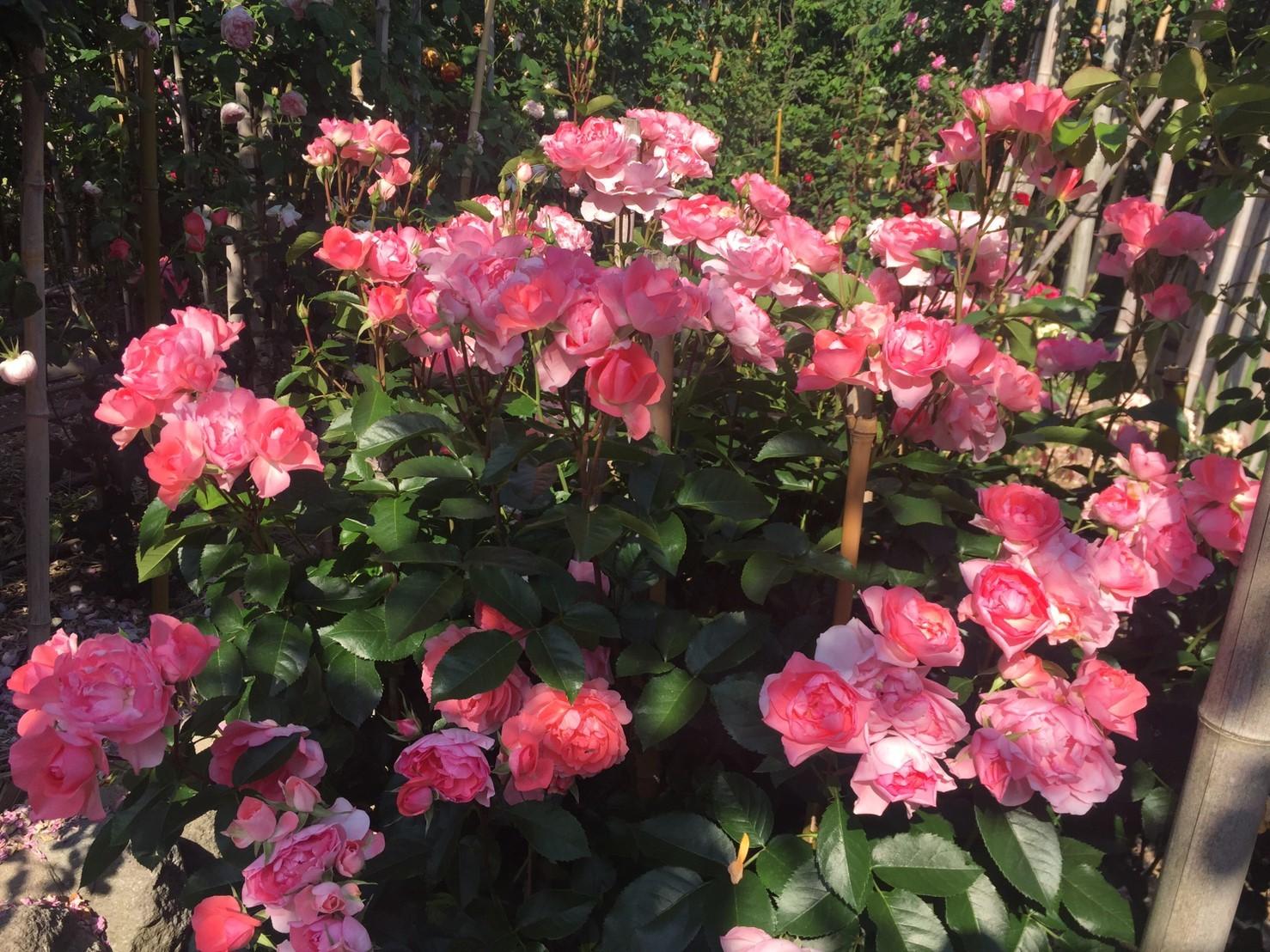 Rose Garden Fujii_e0115904_12341791.jpg