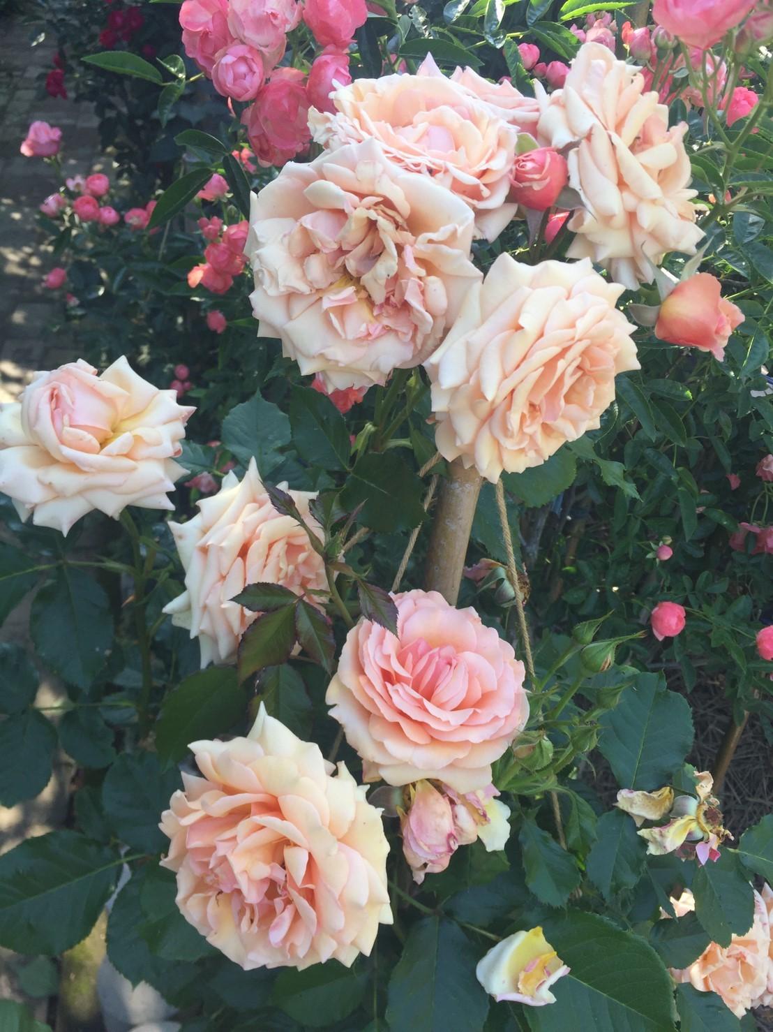 Rose Garden Fujii_e0115904_12360414.jpg
