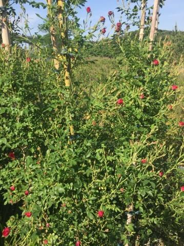 Rose Garden Fujii_e0115904_12360458.jpg