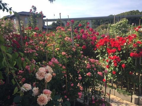 Rose Garden Fujii_e0115904_12360495.jpg