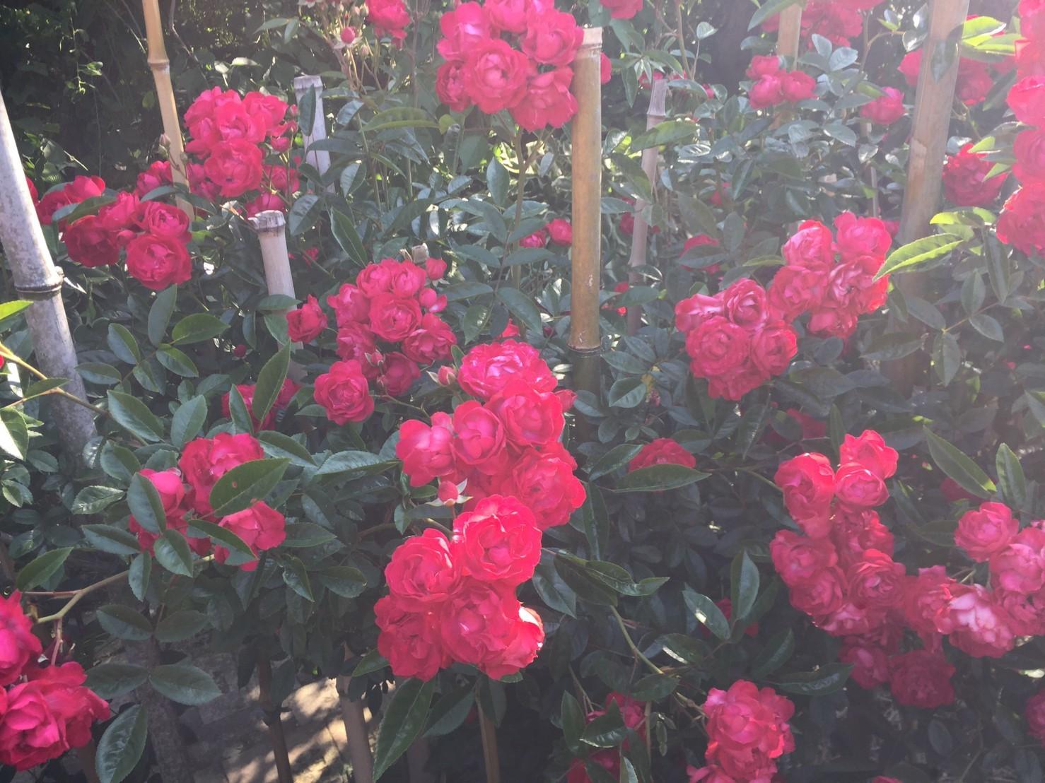 Rose Garden Fujii_e0115904_12362972.jpg