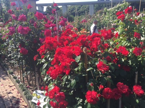 Rose Garden Fujii_e0115904_12362992.jpg