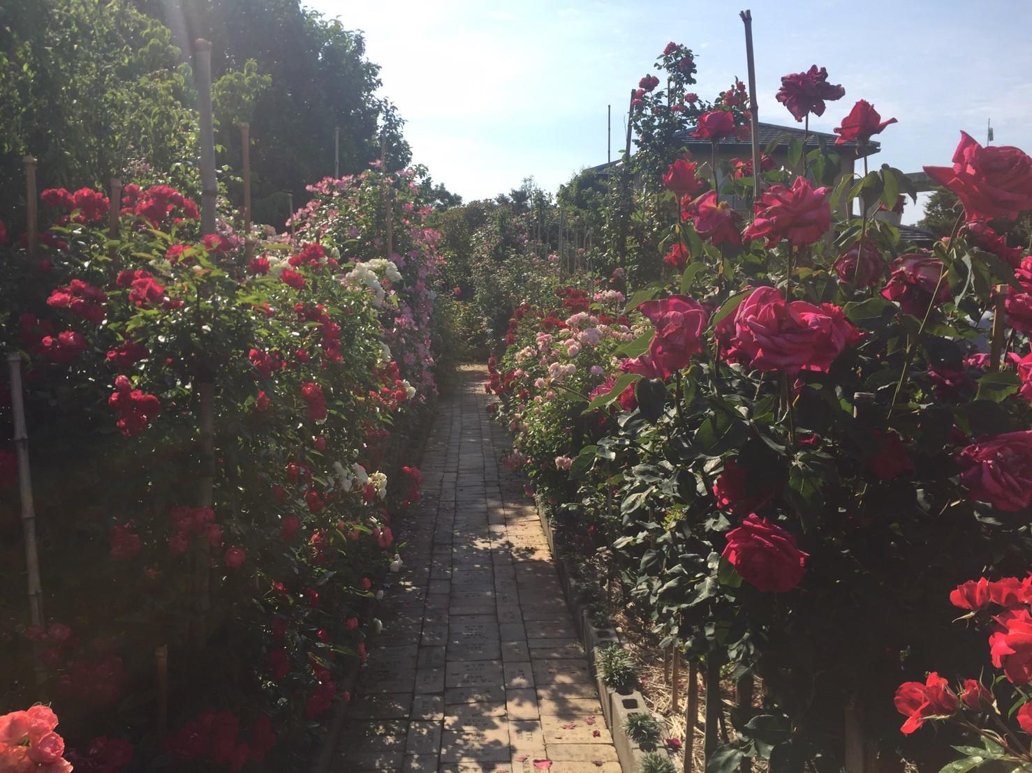 Rose Garden Fujii_e0115904_12363095.jpg