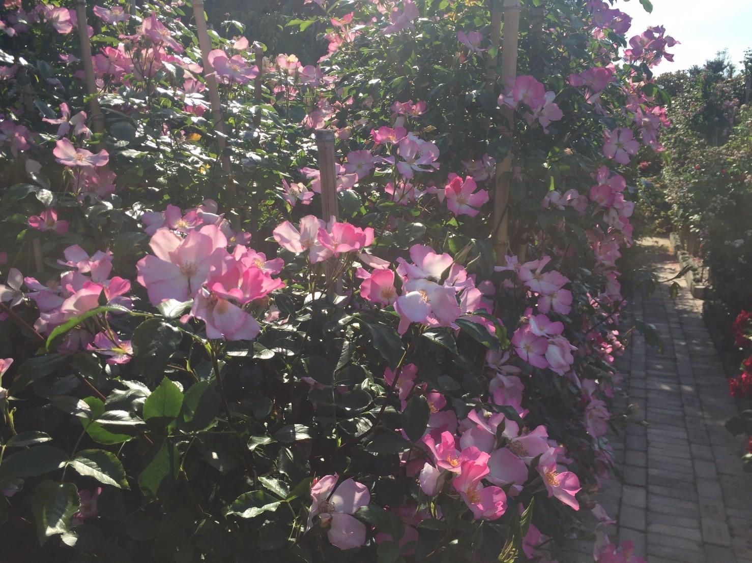 Rose Garden Fujii_e0115904_12364516.jpg