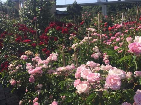 Rose Garden Fujii_e0115904_12364624.jpg