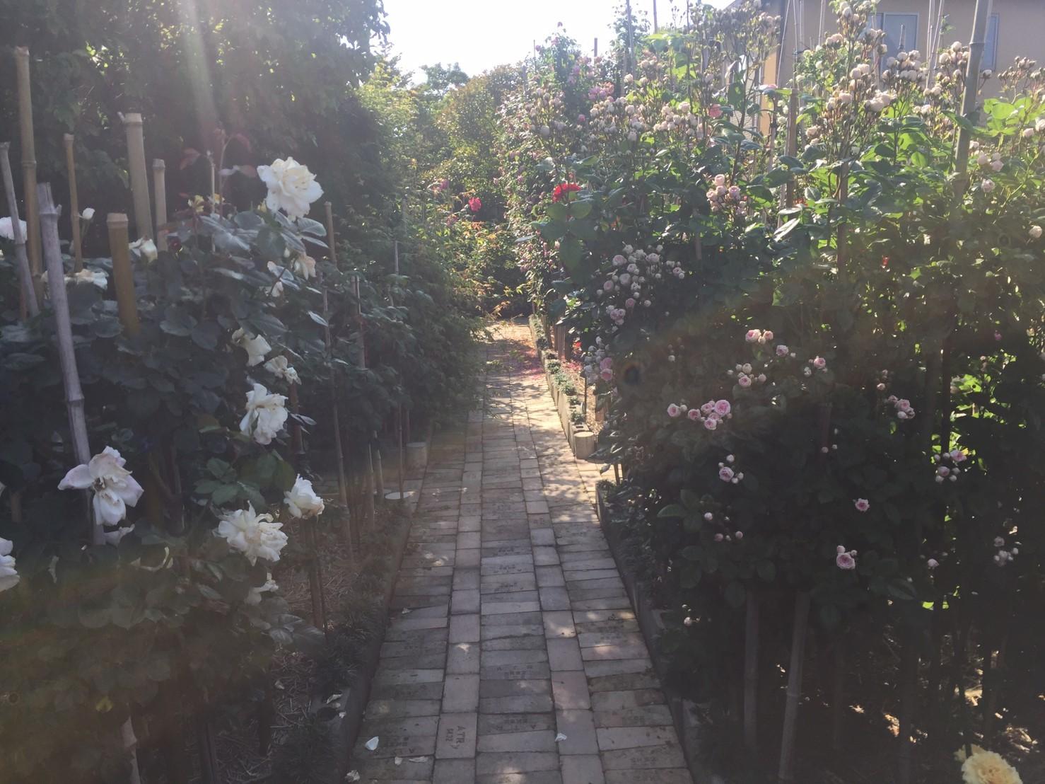 Rose Garden Fujii_e0115904_12364673.jpg