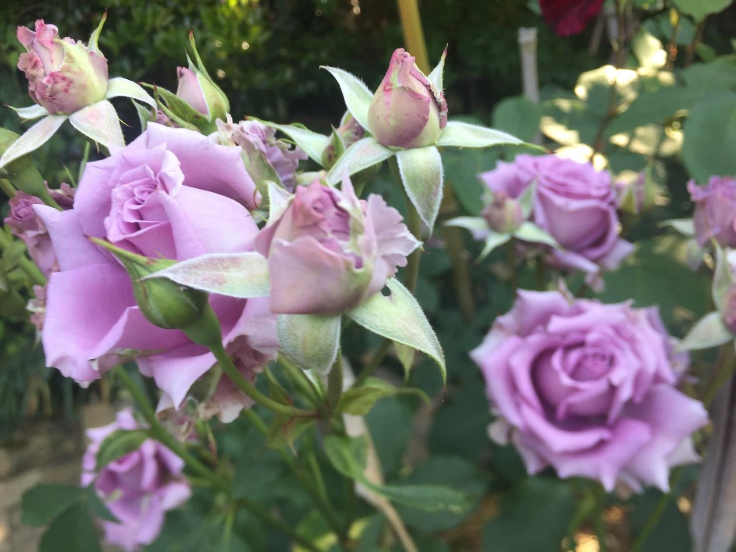 Rose Garden Fujii_e0115904_12370409.jpg