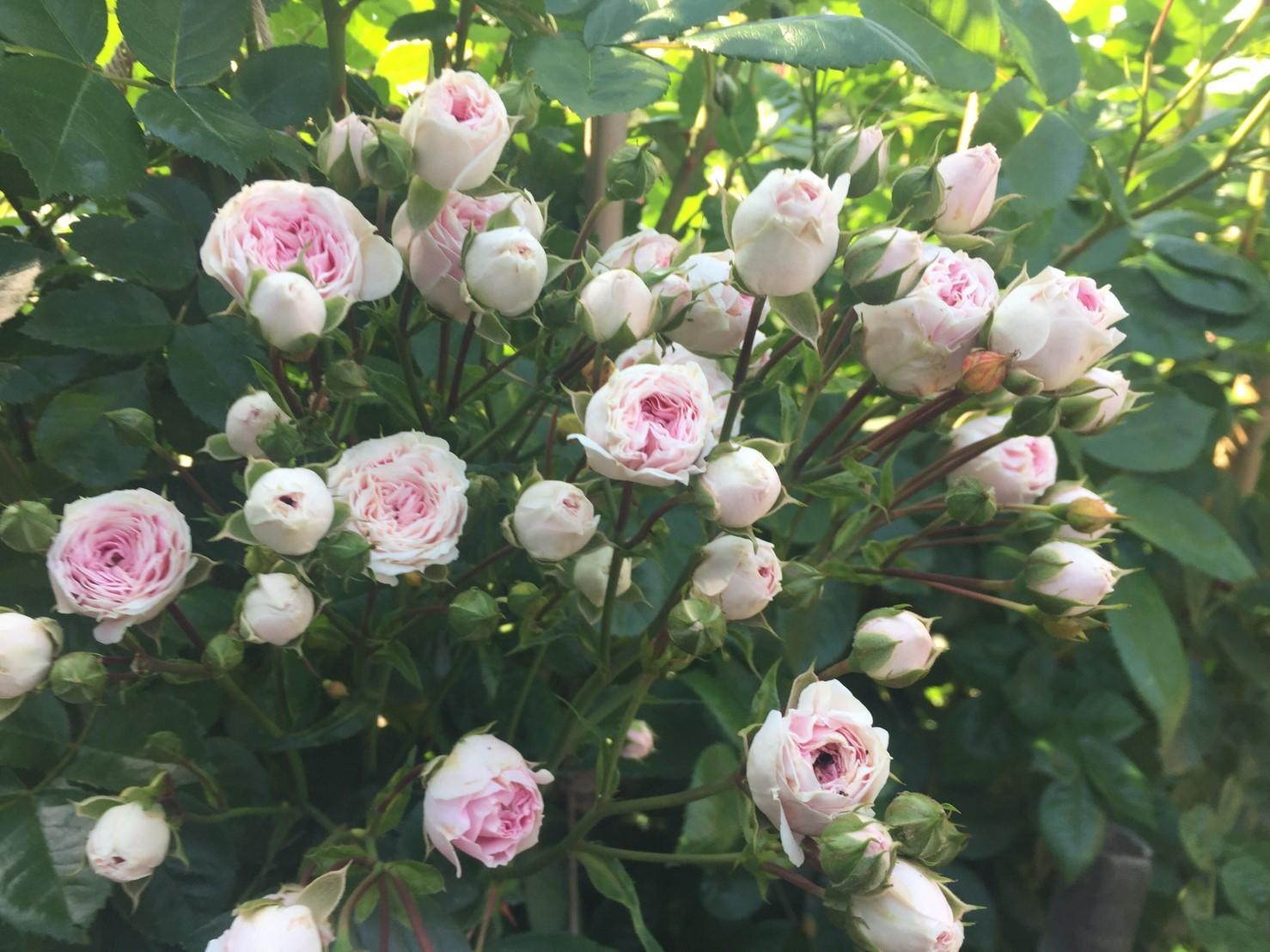 Rose Garden Fujii_e0115904_12370415.jpg