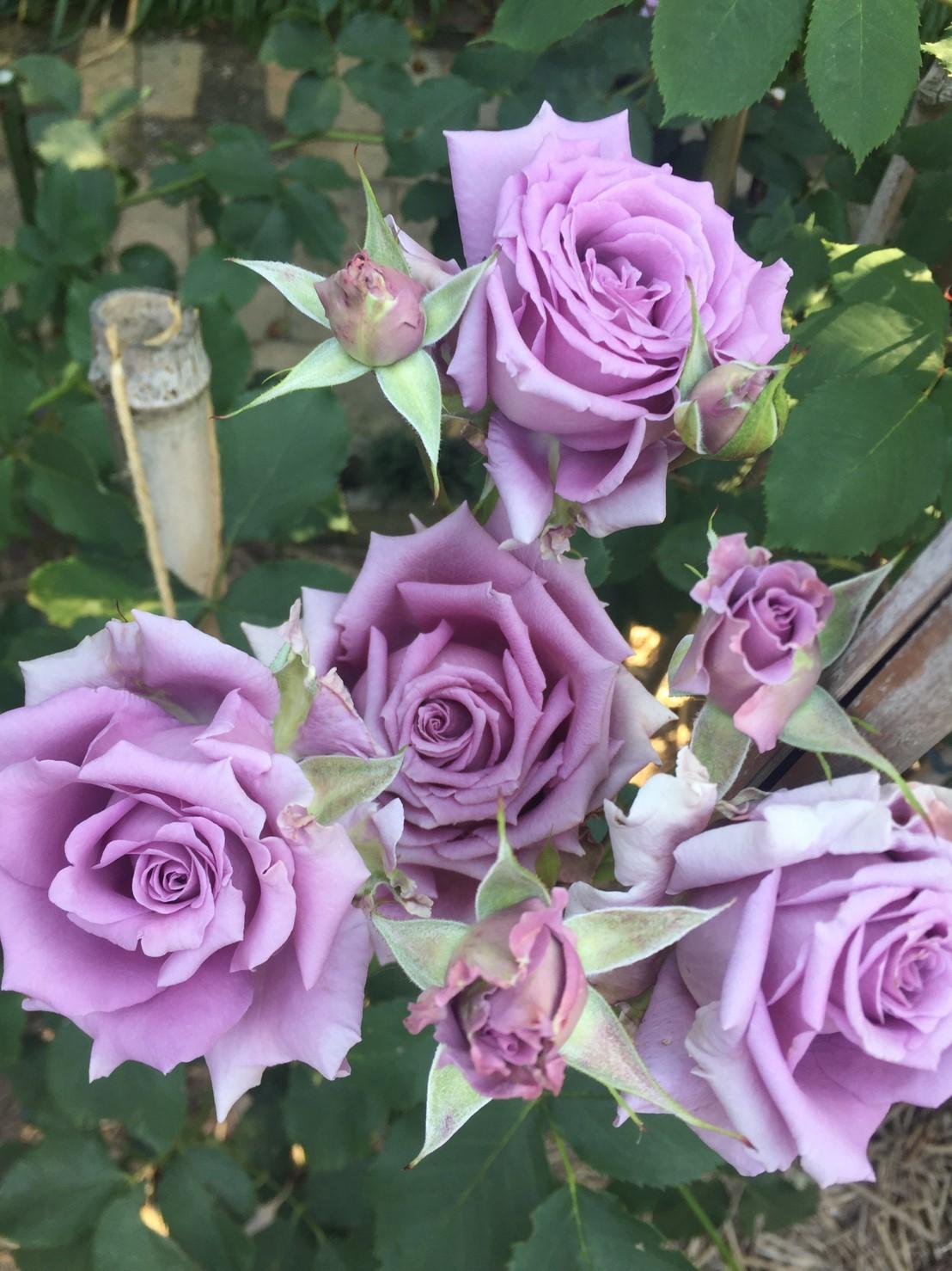 Rose Garden Fujii_e0115904_12372734.jpg