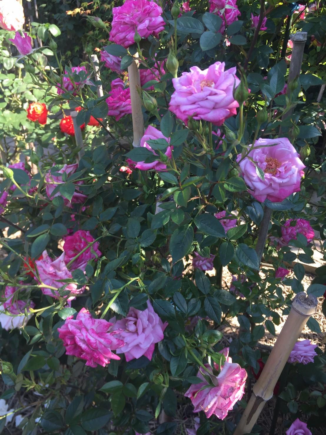 Rose Garden Fujii_e0115904_12372805.jpg