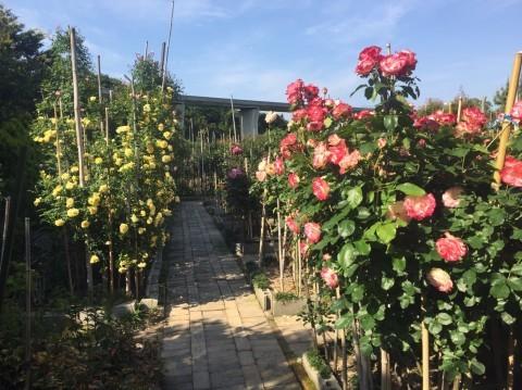 Rose Garden Fujii_e0115904_12372837.jpg