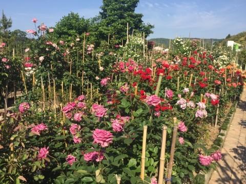 Rose Garden Fujii_e0115904_12372842.jpg