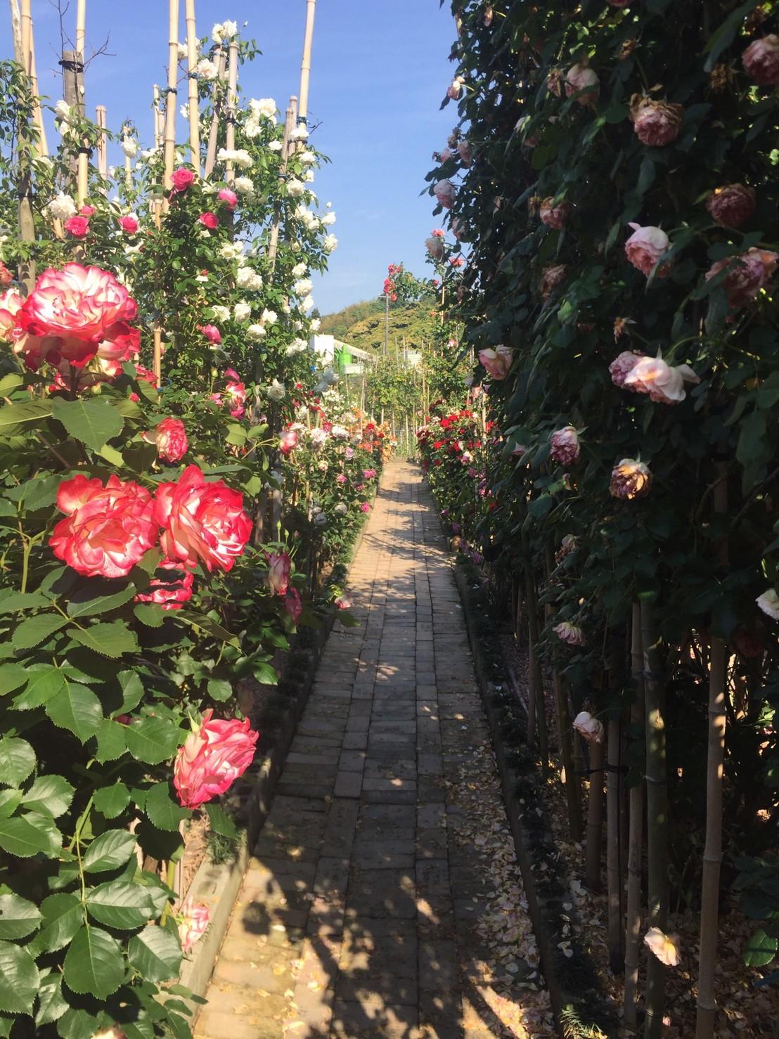 Rose Garden Fujii_e0115904_12372880.jpg