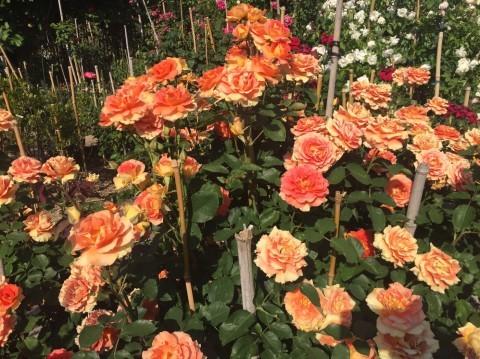 Rose Garden Fujii_e0115904_12380512.jpg