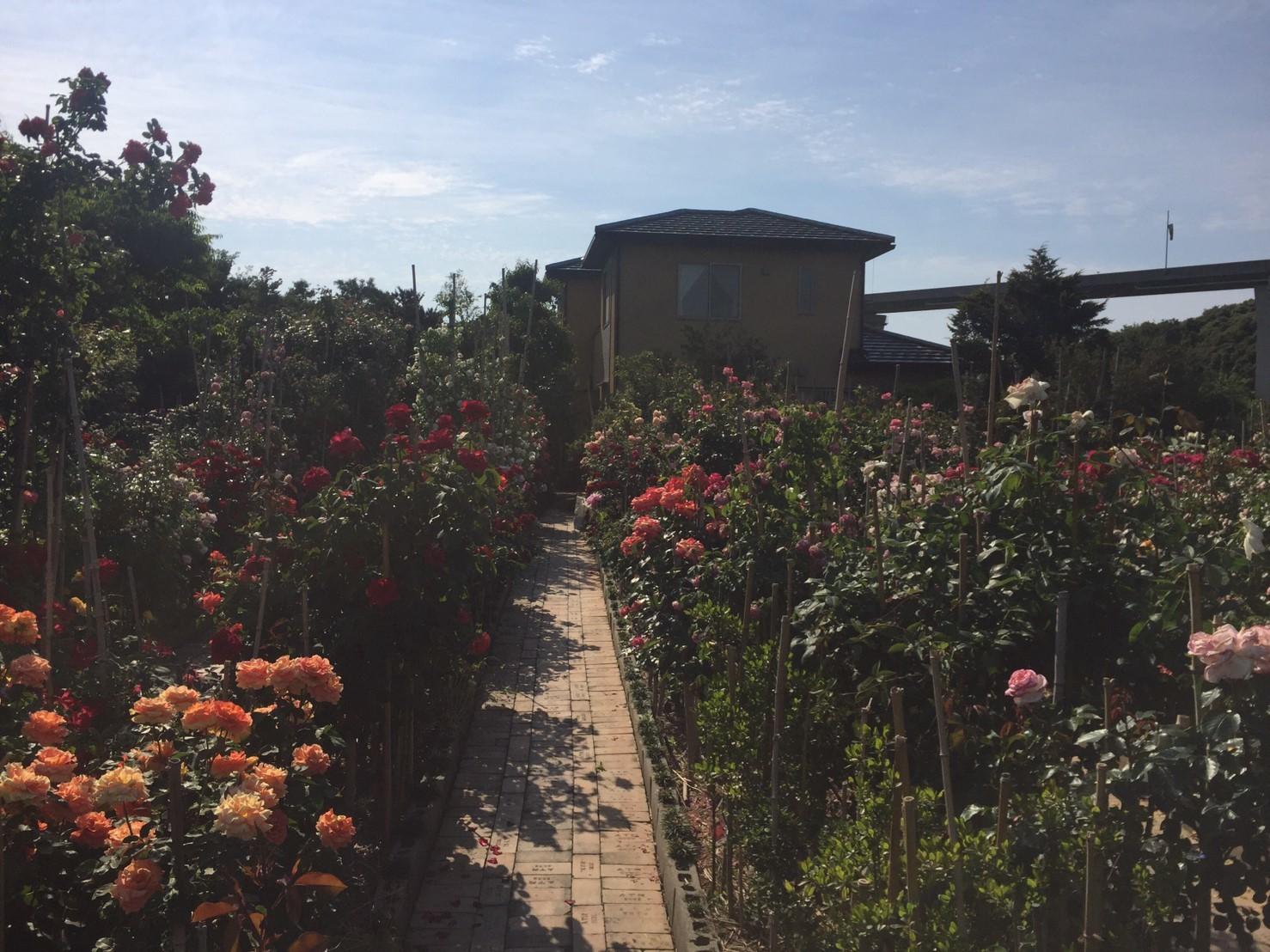 Rose Garden Fujii_e0115904_12380532.jpg
