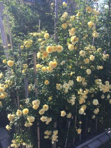 Rose Garden Fujii_e0115904_12490746.jpg