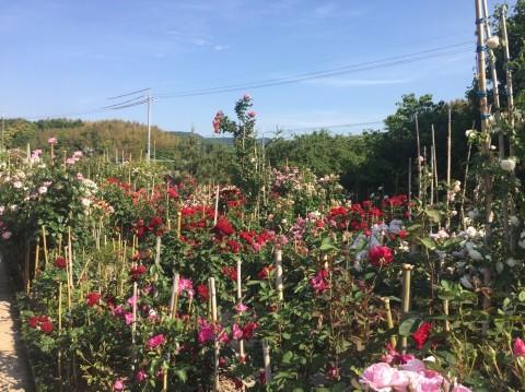 Rose Garden Fujii_e0115904_12490754.jpg